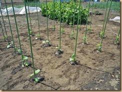 01ナス・トマト苗の植付け12-4-29