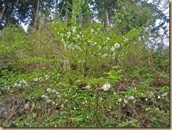 10林道脇に群生するキイチゴの花12-4-25