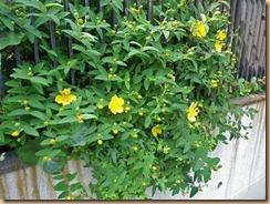 01キンシバイの開花12-5-28