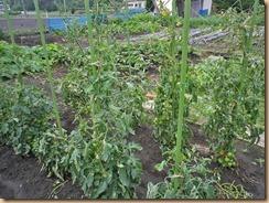 04トマトの葉が復活12-6-24