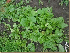 08収穫前の小松菜12-6-24