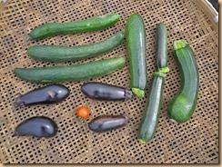 09ズッキーニの収穫12-6-24