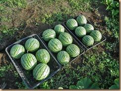 02小玉スイカの収穫12-7-31