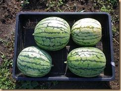 03小玉スイカの収穫12-7-30
