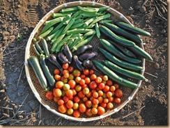 01野菜の収穫12-8-24