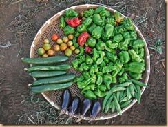 04野菜の収穫12-8-31