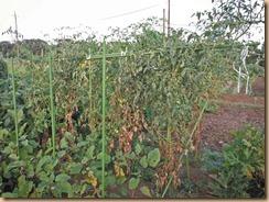 08葉が枯れた中玉トマト12-8-26