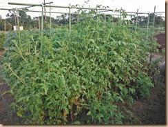 09脇枝が繁茂するミニトマト12-8-26
