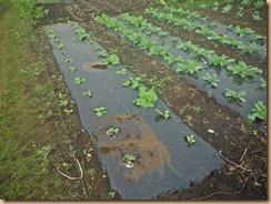 06白菜の生育12-9-25