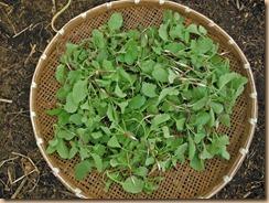 03ハツカダイコンの摘み菜12-10-28