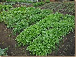06収穫前の春菊・水菜・小松菜12-10-28
