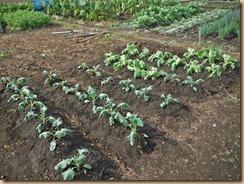 01ブロッコリー・白菜予備苗の植替え12-10-30