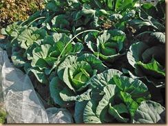 01収穫前のキャベツ畑12-11-25