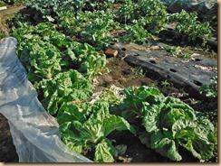 02収穫前の白菜畑12-11-25