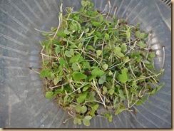 03カラシ菜の摘み菜12-10-31