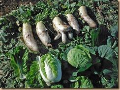 03収穫した大根・白菜・キャベツ12-11-25