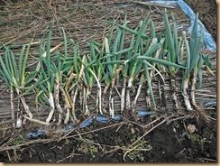 01長ネギの収穫12-12-27