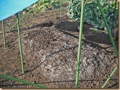 01ボカシ肥料表面に白カビ12-12-31
