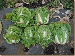03白菜の収穫12-12-27