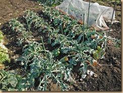 01ブロッコリー葉Ⅰの食害13-1-30