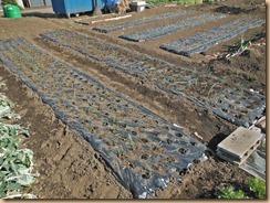 01植え直したタマネギ畑13-1-31