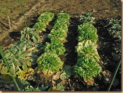 04白菜の葉の食害13-1-30