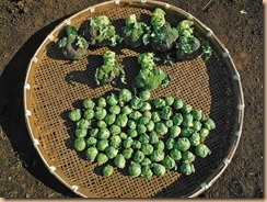 05ブロッコリー・芽キャベツの収獲13-1-30