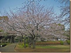 01大庭城址公園の桜開花13-3-21