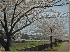 01引地川親水公園の満開の桜13-3-28