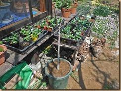 02イチジクの苗木を花鉢に仮植え13-3-26
