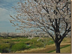 02引地川親水公園の満開の桜13-3-28