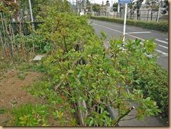 04モッコウバラの蕾が膨らむ13-3-23