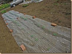 04防虫シートでマルチした東西ジャガイモ畑13-3-24