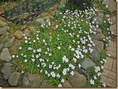 05ハナニラの花数が増える13-3-23