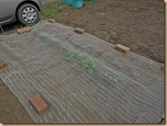 10防虫シートでマルチしたジャガイモ畑北13-3-29