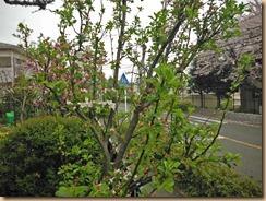 01サルナシの開花13-3-31