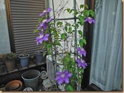 02クレマチスの開花13-4-29