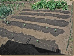 01サトイモの発芽が続く13-5-24