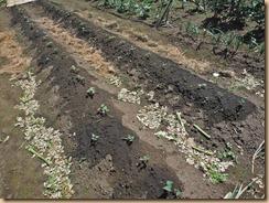 02サツマイモに新葉が伸び出す13-5-24