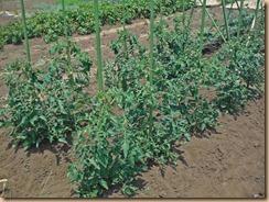 02中玉トマトに施肥土寄せ13-5-26