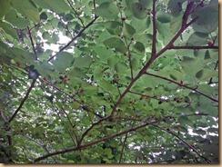 09桑の木に実が熟す13-6-18