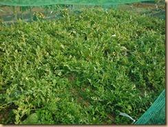 01蔓葉が盛り上がる小玉スイカ畑13-7-12