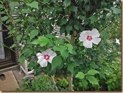 01ムクゲの開花13-7-13