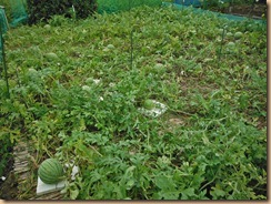 01雑草整理、施肥後の小玉スイカ畑13-7-16