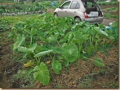02サトイモの根元に雑草を敷く13-7-23