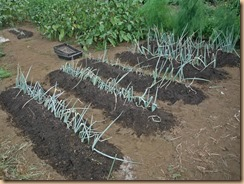 01長ネギの移植土寄せ施肥13-8-22