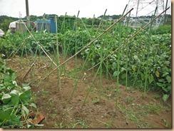03蔓茎葉を整理した支柱組立13-8-6