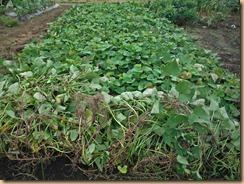 01収獲前のサツマイモ畑13-9-10