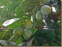 02筆柿の実の生育13-9-22