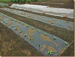 03追加種蒔きしたダイコン、白菜、キャベツ13-9-10